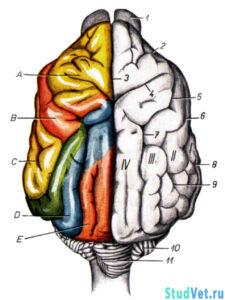 Головной мозг собаки с дорсальной поверхности