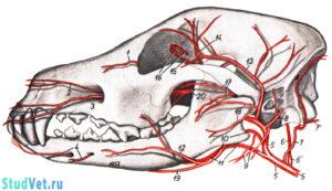 Скелетотопия артерий головы собаки. Вид слева. Рисунок сделан по коррозионному препарату