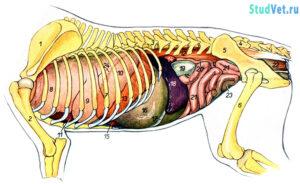 Внутренние органы собаки с левой стороны