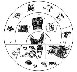 Биология развития М. lineatus